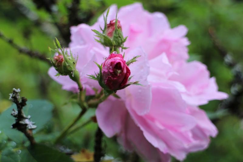 rosensdag 2014 # stensjöäng #tusenträdgårdar