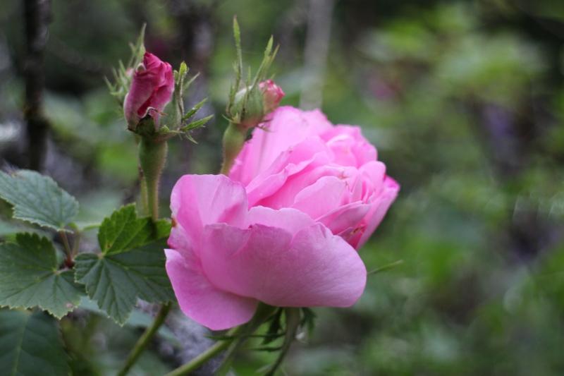 rosensdag 2014 #tusen