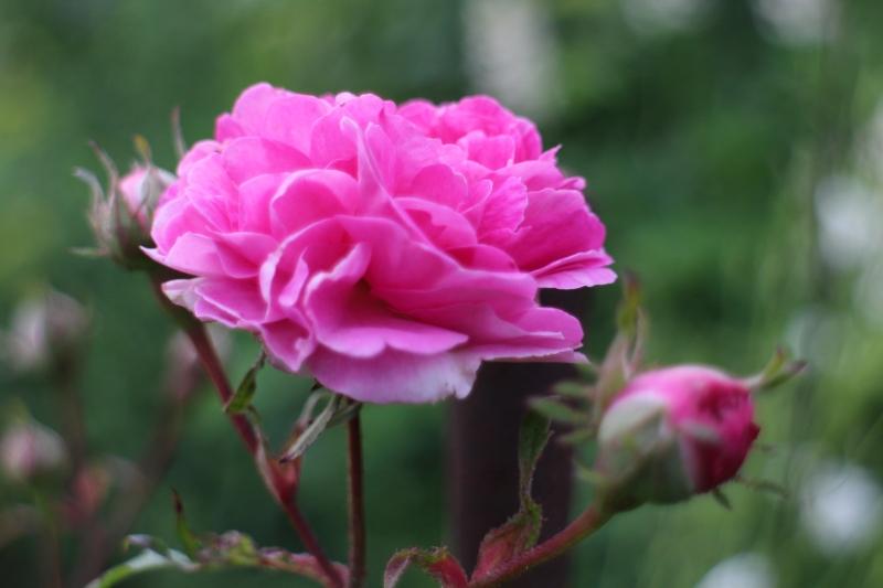 rosensdag 2014 #tusenträdgårdar