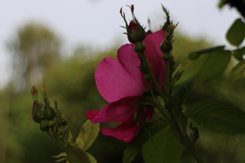 rosensdag 2014 #tusensträdgårdar
